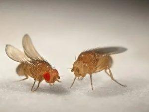 Проглотила муху-дрозофилу