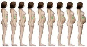 На каком месяце беременности виден живот?