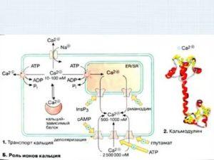 Усвоение кальция в кишечнике зависит от отсутствия фермента?
